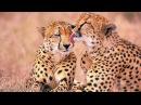 Любовь и Спаривание ЖИВОТНЫХ в Дикой Природе. Planet WILD HD