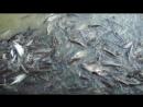 Покормил сомов - почистил карму. Город Аюттхая, Таиланд