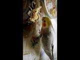 попугай Рики,обедает из моей тарелки.
