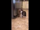 Луговая собачка Отис дружит с кошкой Катрин