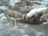 Волк vs туркменкие алабаи