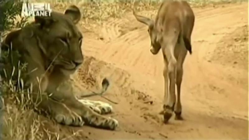 Невероятно! Львица приютила дитя антилопы. Любовь победила голод