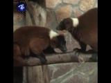 Лемуры в Ленинградском зоопарке