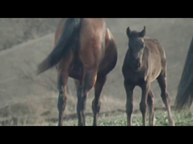 Лошади Кабардинской породы на Малокарачаевском кон.заводе / из фильма Мастер и ...