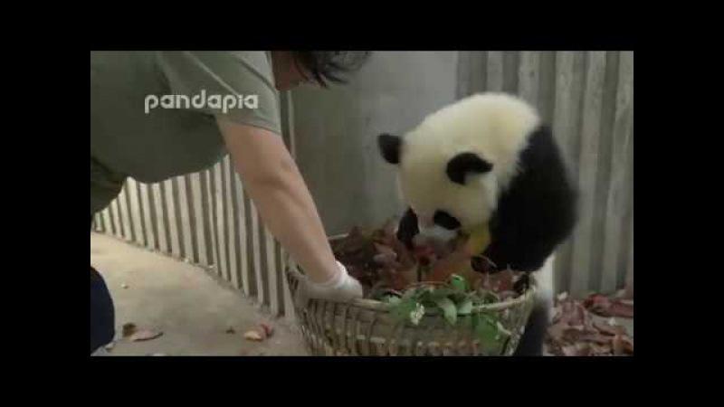 Панды-непоседы, как дети малые
