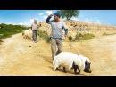 Перелетные свиньи | When Pigs Have Wings | 2011