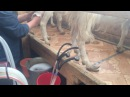 Вечерняя дойка коз