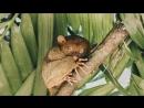 Филиппинские долгопяты