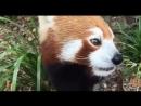 Красная панда кушает виноград