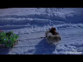 Зимние катания на санках с собаками
