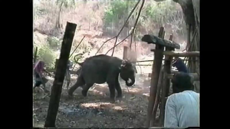 СЛОНЫ ДЛЯ КАТАНИЯ И ЦИРКА. КАК ЭТО ПРОИСХОДИТ Thai Elephants. PETA