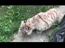 Лилия Белая тигрица Тайган
