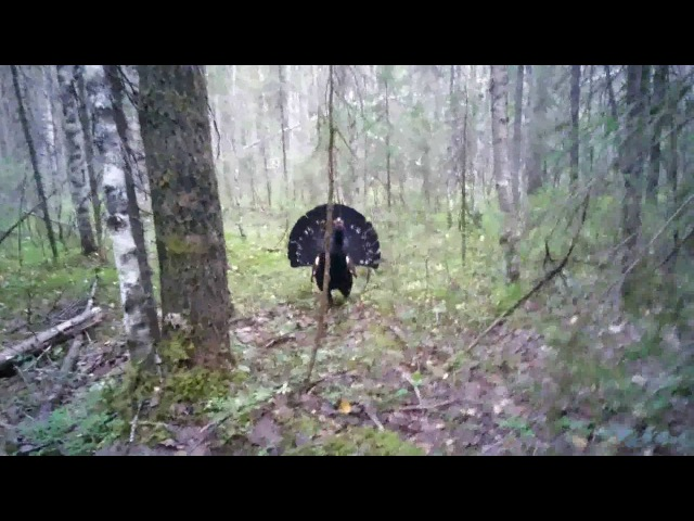 Нападение глухаря на охотника