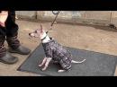 Анти-ОКД, дрессировка маленьких собачек, спорт фитнес, американский голый терьер