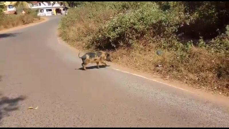 дикая свинья переходит дорогу