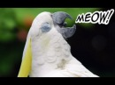 Funny Birds Imitating Other Animals Hilarious Pet Parrots Meowing and Barking Compilation 2017