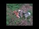 safaripark25ruШЕРХАН И ТАБАКИ - ДРУЗЬЯ  Тигрёнок Шерхан и собака Табаки живут в одном Парке и очень нежно относятся друг к другу