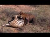 Жесткая драка двух тигров, а третий наблюдает!