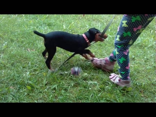 Воспитание щенка Ягдтерьер немного о породе