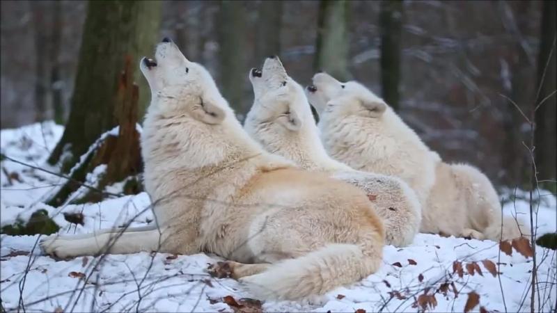 Вой белых Волков