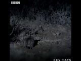 This is the world's DEADLIEST cat (BBC Big Cats)