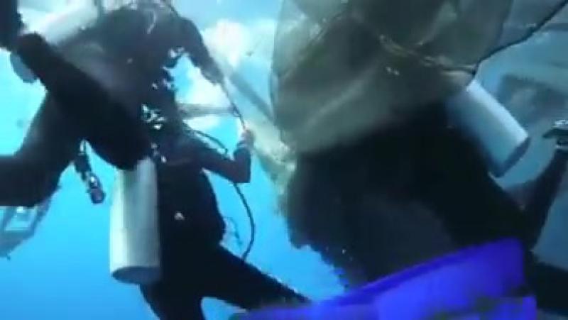 Китовые акулы в сетях