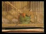 02.Мои попугаи-2007 г.