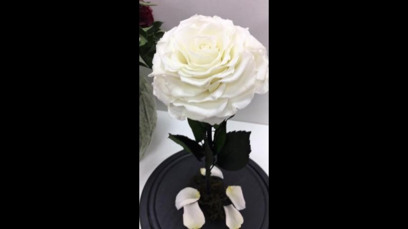 Неувядающие 5 лет Живые Стабилизированные Цветы Роза под Куполом Крым