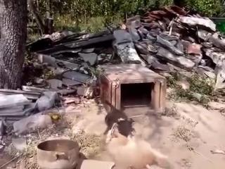 Бесстрашный щенок ягдтерьера.