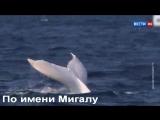 Белый горбатый кит-альбинос
