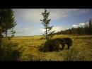 Любопытные медведи Онежского Поморья