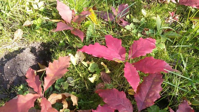 красный дуб, ростки, цвет отличный, насыщенный