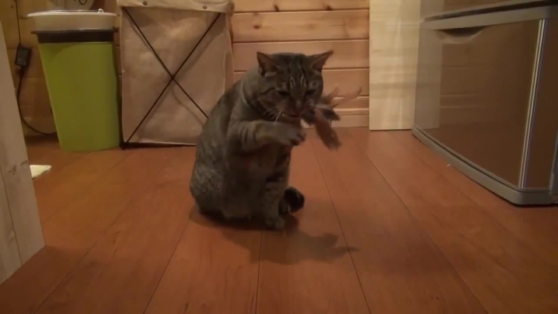 Кот из Республики Саха играет на хомусе (варган)