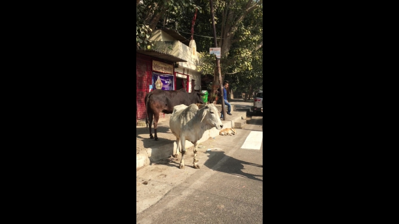 Коровы на дорогах Индии