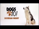 Сибирский хаски Введение в собаковедение