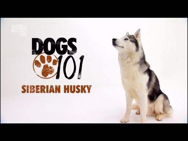 Сибирский хаски. Введение в собаковедение.