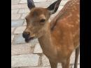 Hilarious screaming deer in Nara Japan · coub, коуб