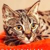 Кошки САВАННА  | Питомник «Savannah Spirit»