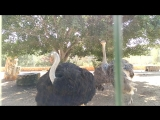 Страусы в зоопарке на Кипре