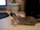Крыса мама собирает детей AVI