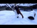 Красная панда радуется первому снегу