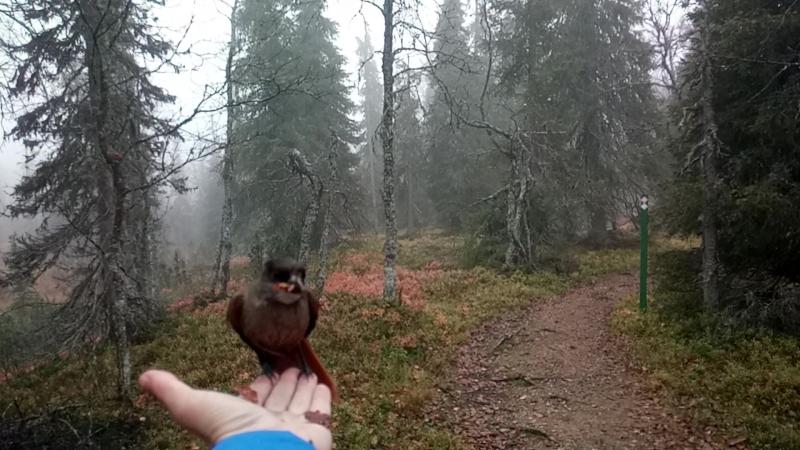 кормление Siberian Jay (Кукша) в парке Урхо Кекконена. Финляндия