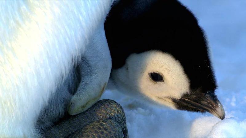 Пингвины 2 / Penguins — Spy In The Huddle 2 (2013)