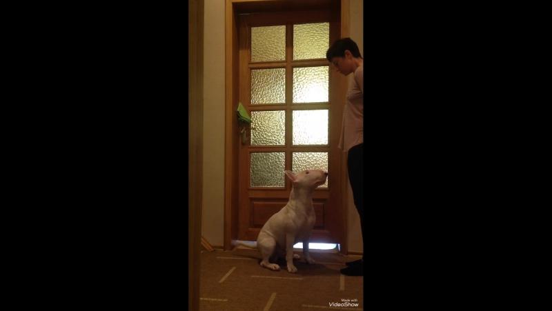 Яхонт учится облаивать.