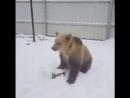 Бурый медведь помогает чистить снег во дворе