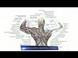 Мышцы спины - 10 Фактов (Анатомия, Тренировки и Биомеханика)
