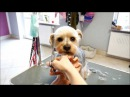 Grooming Guide Grooming a head Yorkshire terier mix 4