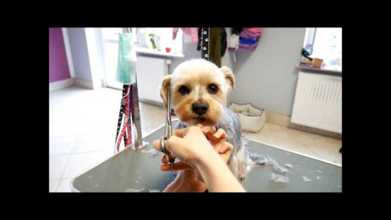 Grooming Guide - Grooming a head - Yorkshire terier mix 4