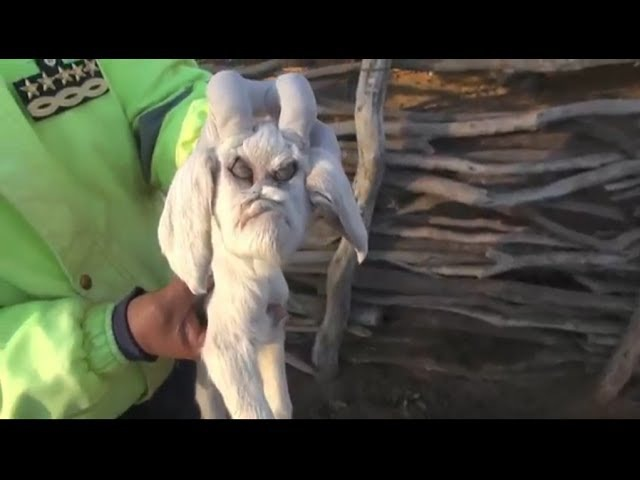 В Аргентине родился козленок-мутант с человеческим лицом