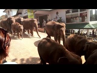 слоны бегут купаться